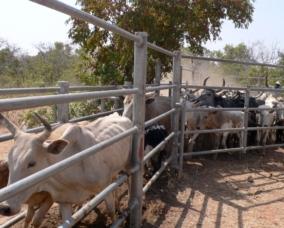 Livestock rearing